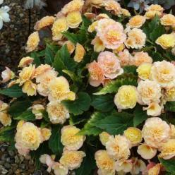 Begonia × tuberhybrida  - Knolbegonia