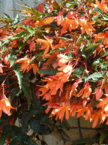 Begonia × tuberhybrida Pendula Group  - Hangende knolbegonia