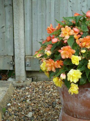 Begonia Illumination Series  - Knolbegonia