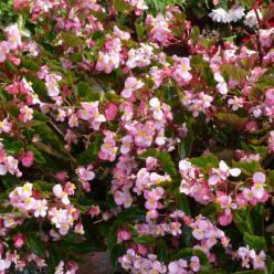 Begonia Semperflorens-Cultorum Hybrids  - Begonia