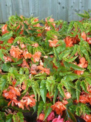 Begonia  'Tenella Salmon Orange' - Hangende knolbegonia