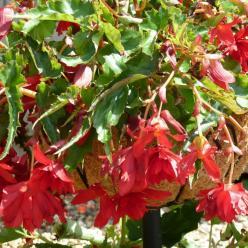 Begonia  'Tenella Scarlet' - Hangende knolbegonia