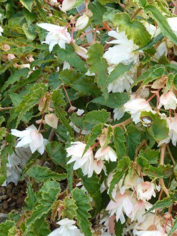 Begonia  'Tenella White' - Hangende knolbegonia