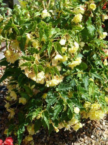 Begonia  'Tenella Yellow' - Hangende knolbegonia