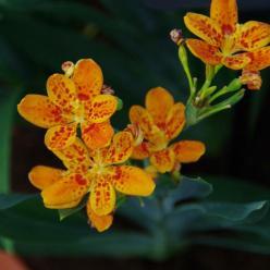 Belamcanda chinensis  - Luipaardbloem , Tijgerlelie