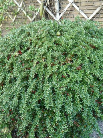 Berberis × frikartii 'Amstelveen' - Zuurbes