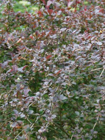 Berberis × ottawensis 'Superba' - Zuurbes