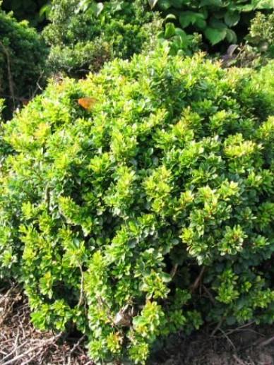 Berberis buxifolia 'Nana' - Zuurbes