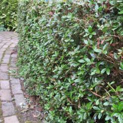 Berberis × hybrido-gagnepainii  'Chenaultii' - Zuurbes