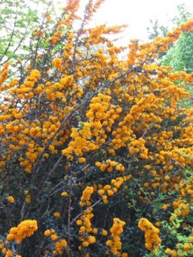 Berberis × lologensis  'Mystery Fire' - Zuurbes