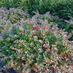 Berberis × media  'Parkjuweel' - Zuurbes