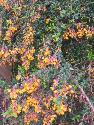 Berberis × stenophylla  'Crawley Gem' - Zuurbes