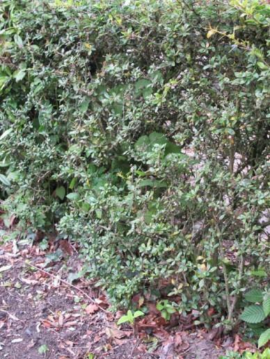 Berberis thunbergii  - Japanse zuurbes , Zuurbes, Japans