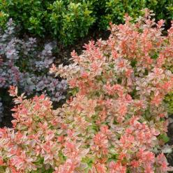 Berberis thunbergii 'Admiration' - Japanse zuurbes