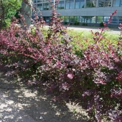 Berberis thunbergii 'Atropurpurea' - Japanse zuurbes , Zuurbes, Japans