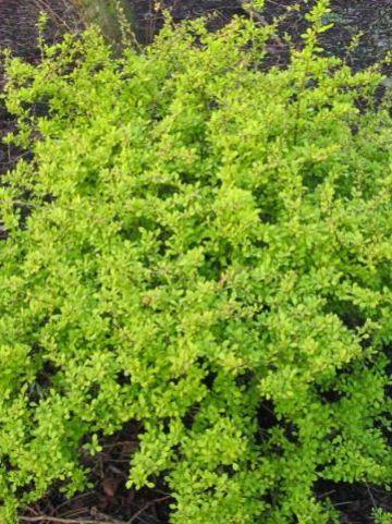 Berberis thunbergii 'Aurea' - Japanse zuurbes