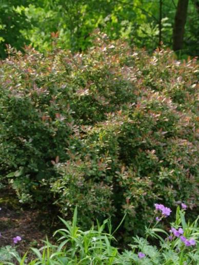 Berberis thunbergii 'Bagatelle' - Japanse zuurbes , Zuurbes, Japans