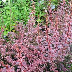 Berberis thunbergii 'Harlequin' - Japanse zuurbes