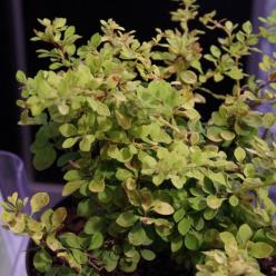 Berberis thunbergii 'Golden Horizon' (='Hoho 2') - Japanse zuurbes