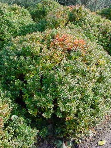 Berberis thunbergii 'Kobold' - Japanse zuurbes , Zuurbes, Japans