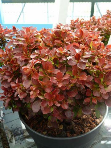 Berberis thunbergii 'Lutin Rouge' - Japanse zuurbes
