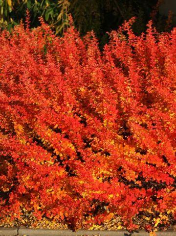 Berberis thunbergii 'Maria' - Japanse zuurbes