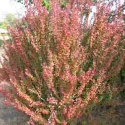 Berberis thunbergii 'Red Pillar' - Japanse zuurbes