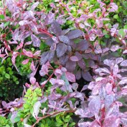 Berberis thunbergii 'Rose Glow' - Zuurbes