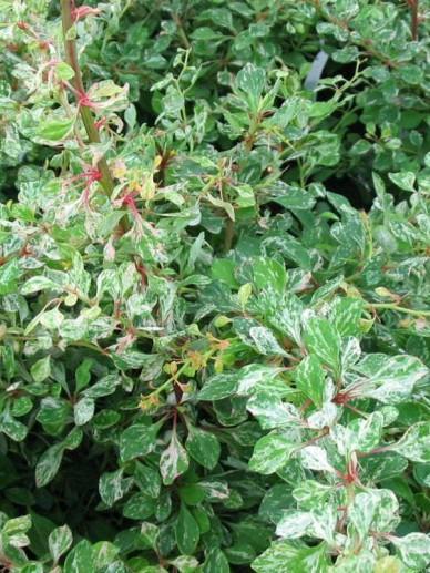 Berberis thunbergii 'Starburst' - Japanse zuurbes