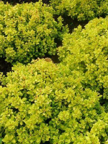 Berberis thunbergii 'Tiny Gold' - Japanse zuurbes