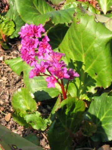 Bergenia 'Abendglut' - Schoenlappersplant