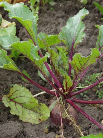 Beta vulgaris var. rubra  - Rode biet , Kroot