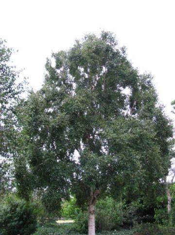 Betula ermanii  - Berk