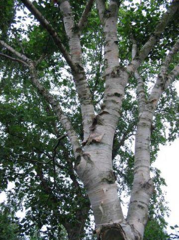 Betula ermanii 'Blush' - Berk