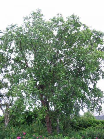 Betula nigra  - Himalaya berk , Zwarte berk
