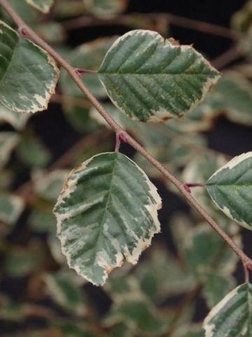 Betula nigra 'Shiloh Splash' - Himalaya berk