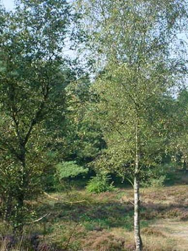 Betula pendula  - Gewone berk , Ruwe berk
