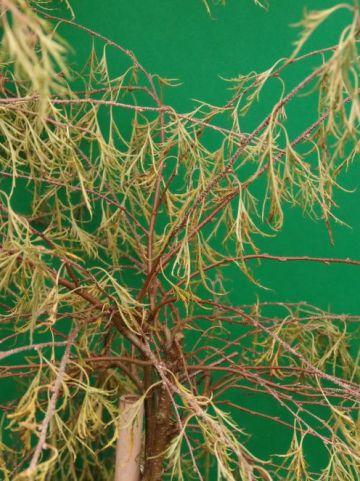 Betula pendula 'Karaca' - Dwergberk