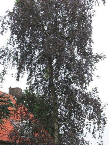 Betula pendula 'Purpurea' - Berk , Roodbladige berk