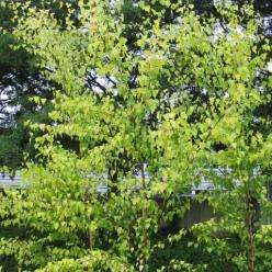 Betula pendula 'Schneverdinger Goldbirke' - Goudberk