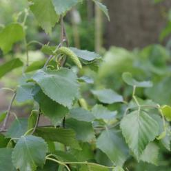 Betula pendula 'Spider Alley' - Berk
