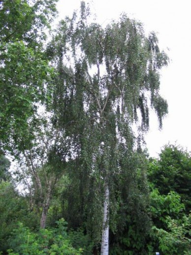 Betula pendula 'Tristis' - Treurberk