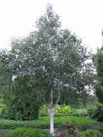 Betula utilis 'Doorenbos' - Himalayaberk, zilverberk