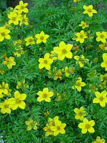 Bidens ferulifolia  - Tandzaad