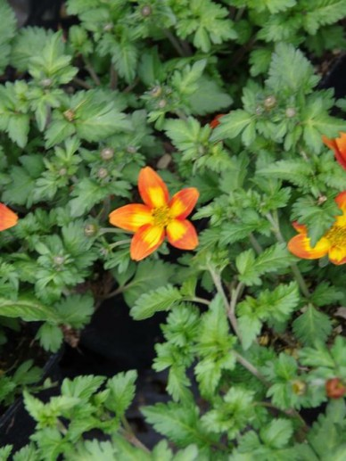 Bidens triplinervia 'Hawaiian Orange Yello' (='Florbikanoyel') - Tandzaad