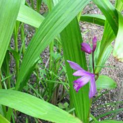 Bletilla striata  - Aard orchidee , Japanse orchis