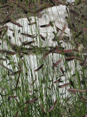 Bouteloua gracilis  - Muskietengras , Wenkbrauwgras