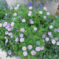 Brachyscome multifida  -