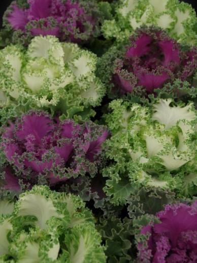 Brassica oleracea  - Sierkool