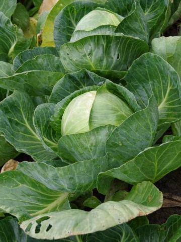 Brassica oleracea 'Langedijker Bewaar' - Witte kool